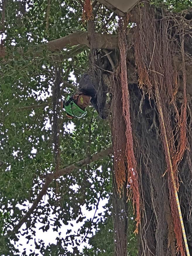 專業攀樹師進入樹木冠層,採吊掛作業替老樹「瘦身」減重。(李金生攝)