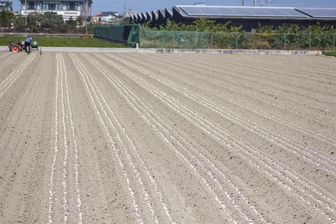 使用種蒜機播種大大節省人力成本,蒜子之間栽種距離整齊規律,詢問度相當熱烈。(周書聖攝)