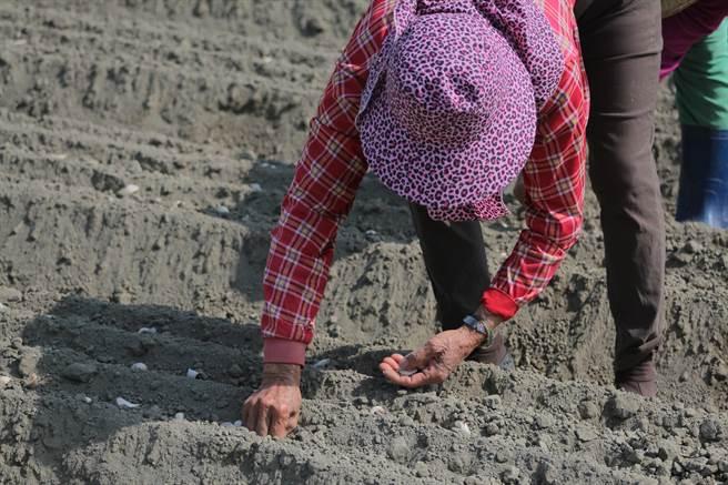 過去蒜頭依靠大量人力播種,播種期短,常造成農村缺工困境。(周書聖攝)