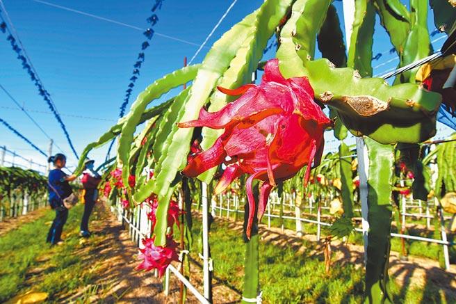 台東火龍果價格創新低,果農表示農糧署認為符合生產成本的交易價格,不適用於台東。(蔡旻妤攝)