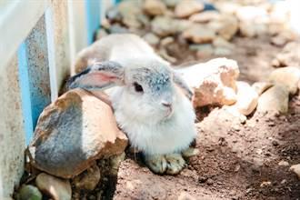 強震兔子卡瓦礫堆32小時 被救出癱倒顫抖 底下躺罹難飼主