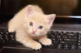 萌貓坐超挺不肯睡陪主人加班 撐不住「彎成90度」趴電腦上