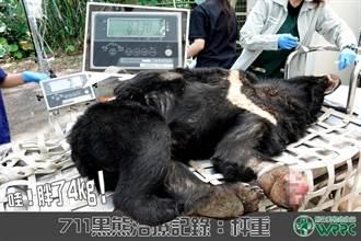 東卯山台灣黑熊誤入套索 傷口癒合良好、預計11月底野放