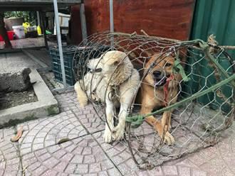 愛斯基摩犬被拴狗肉店前等宰殺 絕望看路人伸掌討握手求救