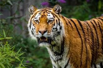 全球不到10隻 極罕見潑墨條紋「黑老虎」現蹤