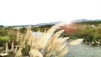 秋天芒花季來臨 新北大漢溪沿岸美景盡收眼底