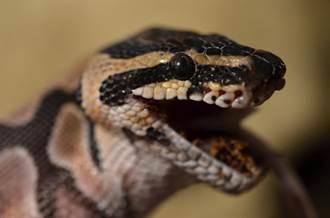 逗弄球蟒被咬「怒剪蛇頭」牠身分曝光 飼主GG了