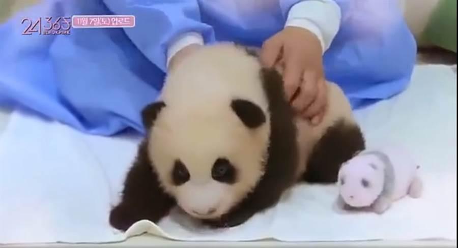 BLACKPINK疑没戴手套碰熊猫。(图/翻摄自秒拍)