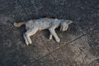 流浪貓被撞倒車陣中沒人理 黑狗「肉身護屍」想喚醒牠