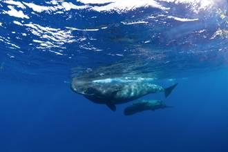 罕見「抹香鯨哺乳」畫面直擊 母奶噴射海水中寶寶張口接
