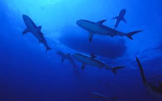 潛入海面下20公尺遇鯊魚牆 被2百隻風暴式包圍