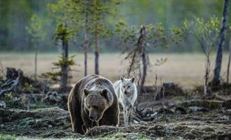 大灰熊河邊打盹無防備 餓狼大膽偷獵物下秒嚇到彈飛