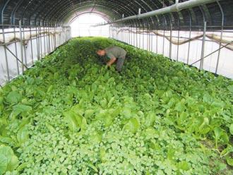 停灌難供學校蔬菜 農民憂違約