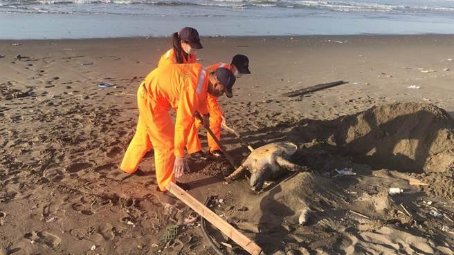 海巡署外埔安檢所人員在外埔漁港北堤外沙灘發現一隻死亡綠蠵龜。(海巡署第3岸巡隊提供/謝明俊苗栗傳真)