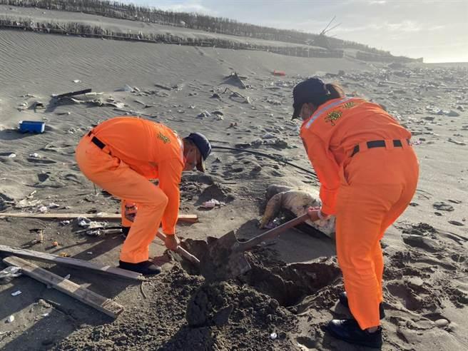 海巡署外埔安檢所人員在外埔漁港北堤外沙灘發現一隻死亡綠蠵龜,就地掩埋安葬。(海巡署第3岸巡隊提供/謝明俊苗栗傳真)
