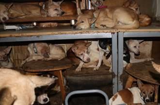 付不出結紮費!9坪房擠3人與164隻狗 瘦小病弱幼犬惹心疼