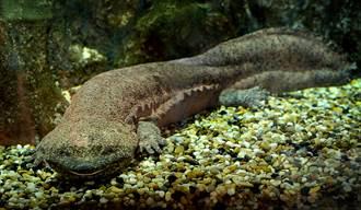 老翁捨不得吃娃娃魚當寵物養 4年後竟長成「巨獸」