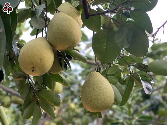 柚香禮券透過有別於以往的的方式帶動盛產期的本土文旦柚銷量,也進一步讓民眾支持其他在地農產品。(本報系資料照)