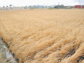 香山海水倒灌 3公頃稻子枯死