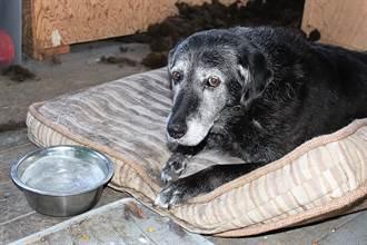 老流浪狗受虐體內卡彈無力坐起來 絕望靠牆待收容所等死