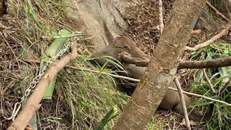 猴王落難受困捕獸夾 林管處即刻救援
