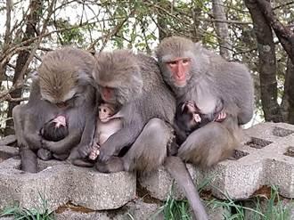 獼猴之亂4》大手牽小手兼顧經濟與生態 與獼猴共存當好厝邊