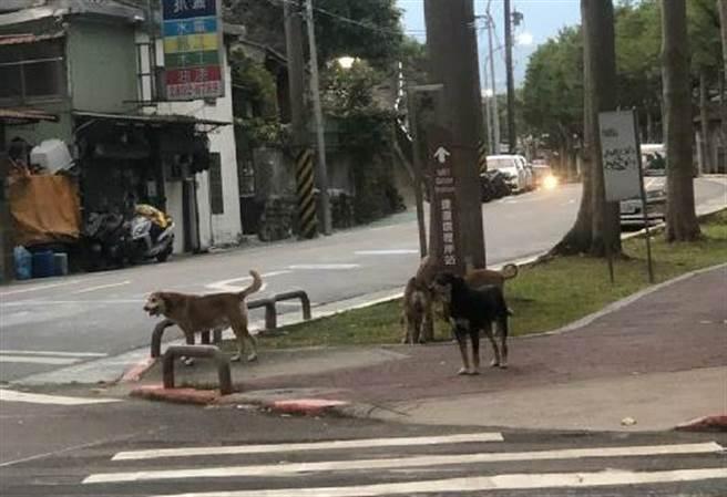 北投地區流浪犬隻頻繁出沒。(照片/讀者提供)