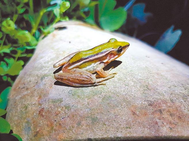 台北赤蛙的生長條件相當苛刻,不僅水質、周圍噪音,就連光譜也都會大幅影響,因此需要相當的條件才能成功培育。(吳聲昱提供/姜霏桃園傳真)