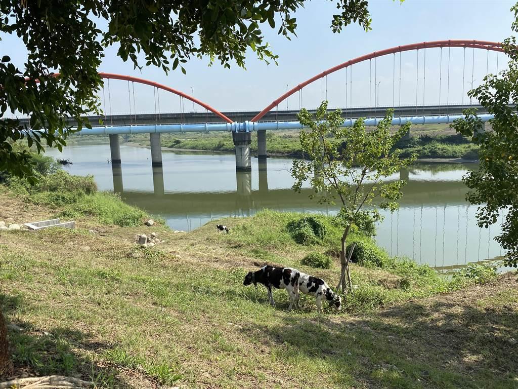 二仁溪流域水質大幅改善,溪畔近日還出現5頭乳牛,吸引民眾目光。(曹婷婷攝)