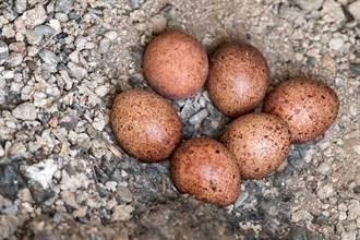 盆栽驚現6顆蛋 屋主陪幼鳥長大離家 紅隼媽飛回來道謝不肯走