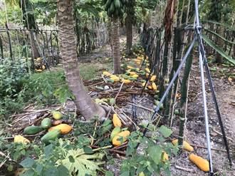 600顆木瓜樹遭惡意割落 孝子青農淚崩:就快收成了