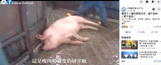 遭暗指瘦肉精豬隻影片有誤  國民黨強烈譴責陳吉仲刻意混淆視聽