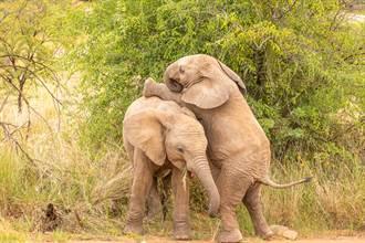 小象吵架用鼻「釘孤支」 超賊同伴見快輸偷出奧步怒巴頭