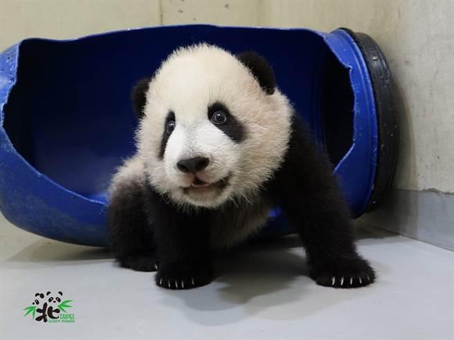 貓熊寶寶又交到新朋友「藍桶君」,模樣非常可愛(圖/臺北市立動物園提供)