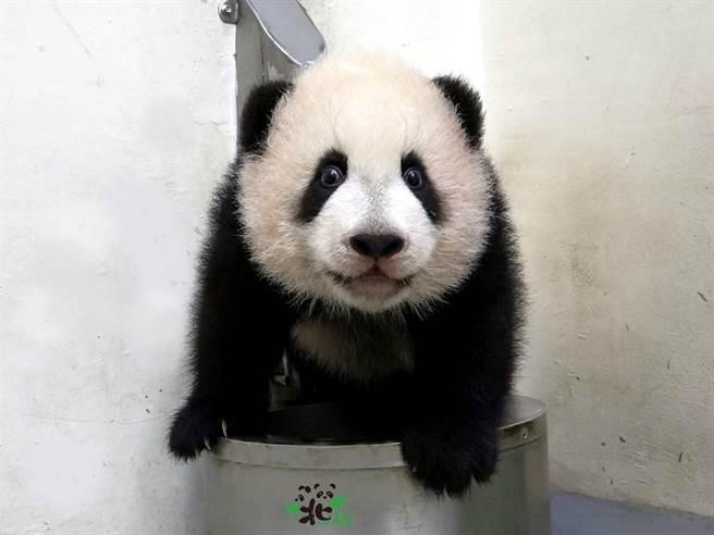 貓熊寶寶「圓寶」雙11不孤單,與好朋友玩得很開心(圖/臺北市立動物園提供)
