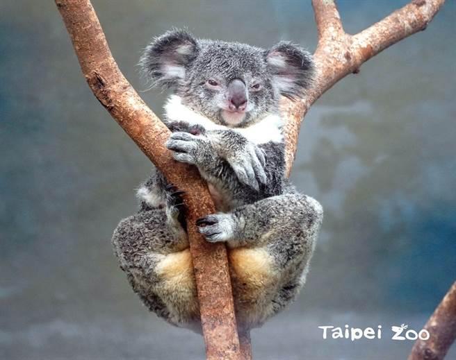 可愛的無尾熊也是獨居動物,甚至以「我單身我驕傲」為榮(圖/臺北市立動物園提供)