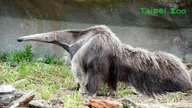 大食蟻獸也是獨居動物,為了維持圈養族群遺傳多樣性,因此會被安排與同性一起生活(圖/臺北市立動物園提供)