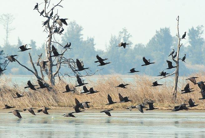 金門最主要的冬候鳥鸕鶿,目前估計已有近800隻來訪。(李金生攝)
