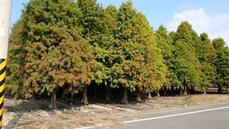 六甲旅遊祕境 落羽松森林開始變色