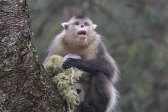 新物種波巴葉猴隱居100萬年 瀕危剩2百隻罕見現蹤