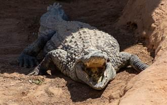 800公斤巨鱷現蹤水溝 5壯漢用繩套住狂拉拖不動
