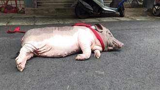 小豬逛大街 警消協助通報動保處安置