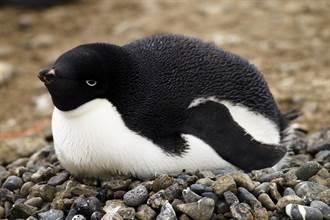 小企鵝頭戴「毛帽」甩不掉 擠雙下巴看鏡頭翻白眼