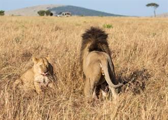 厭世獅子王懶理幼獅 下秒「蛋蛋被咬」痛到哭