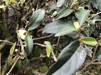 「茶鄉」坪林茶葉遇水傷  茶農損現金救助16日前可申請