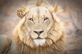 煉獄動物園「紙片雄獅」背影讓人心痛到說不出話