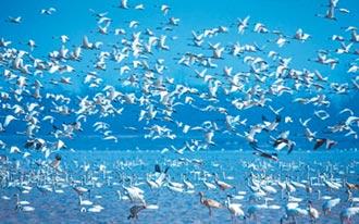 3萬隻越冬候鳥抵鄱陽湖