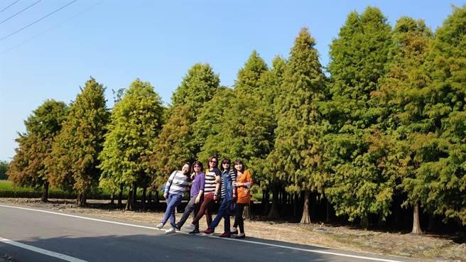 天氣轉涼,台南市六甲區落羽松森林有部分開始變色。(劉秀芬攝)