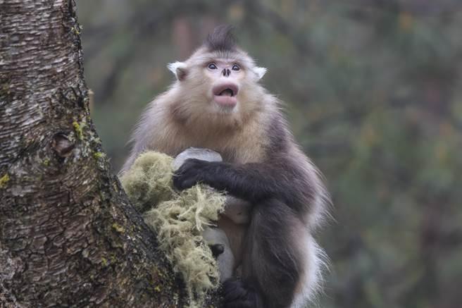 示意圖/並非波巴葉猴/此為緬甸金絲猴