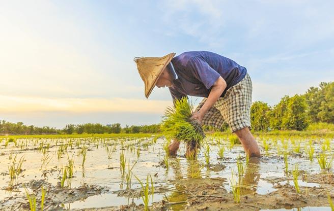 旱災中央災害應變中心昨宣布,嘉南地區將於18日進行夜間減壓供水,農田水利署表示,明年一期作停灌「很有可能」。(本報資料照片)